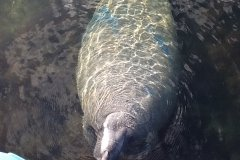 A Curious Florida Manatee in Key Largo by Judith Walldorff